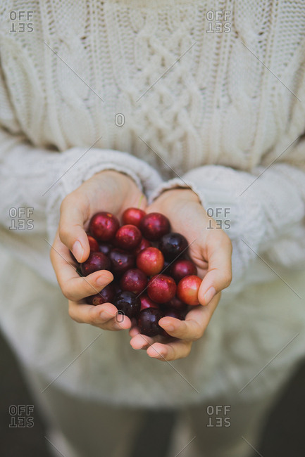 Hands of a young woman holding handful of cherry plums