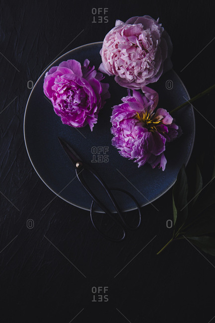 Overhead view of three peonies and herb snips on a blue plate