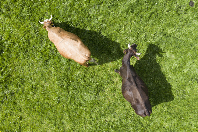 Top view of two cows on meadow