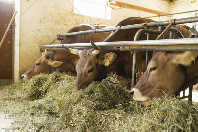 Cows eating hay in stable