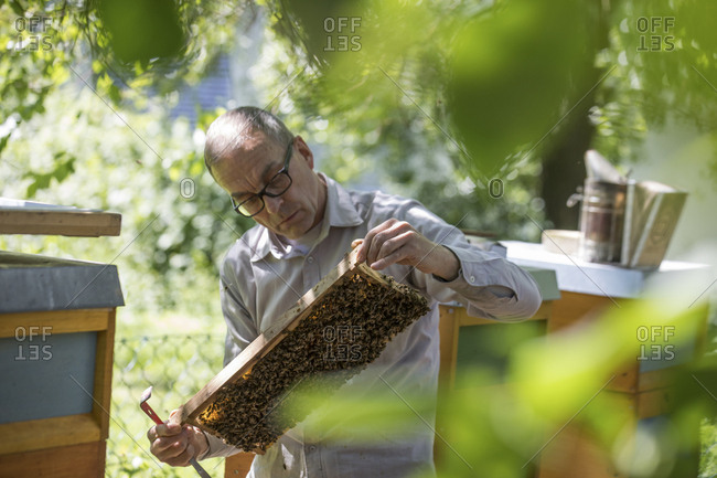 Beekeeper checking honeycomb with honeybees