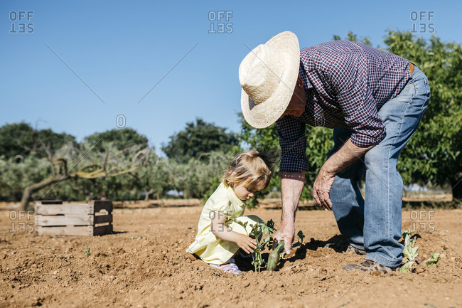Grandfather and granddaughter planting vegetables in the field