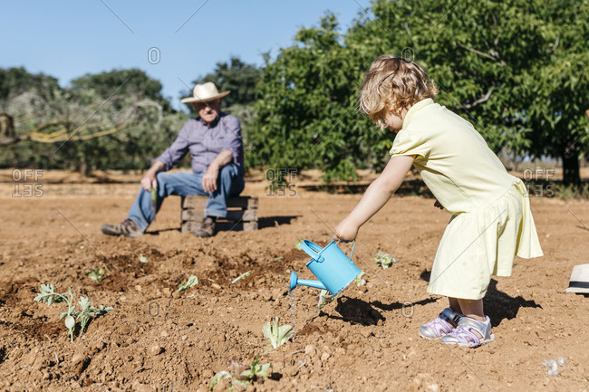 Grandfather and granddaughter watering freshly planted vegetables