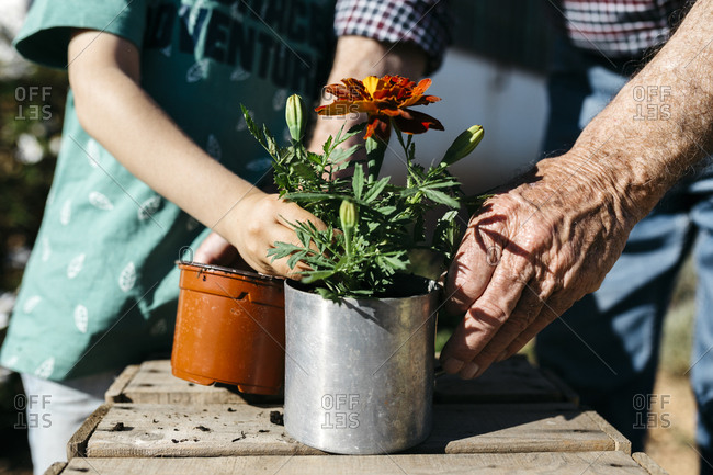 Grandfather and grandson planting a flower in a metal flowerpot