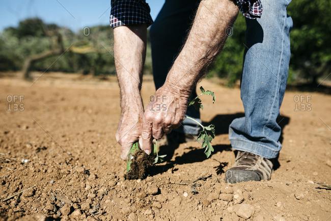 Hands of retired man planting lettuce in the garden
