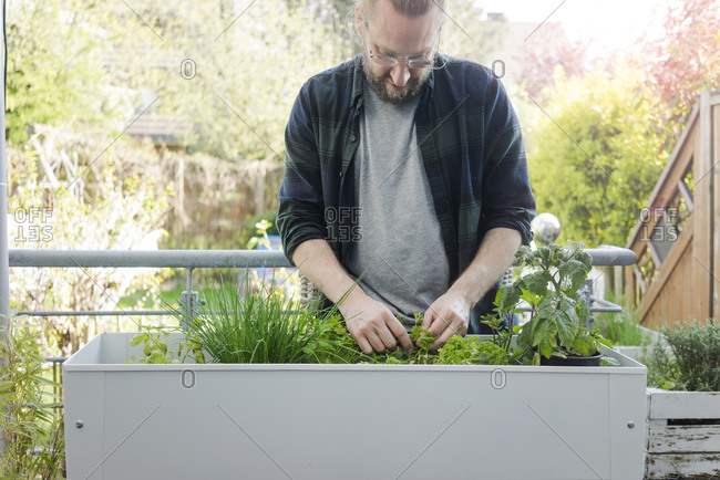 Man caring for herbary in raised bed