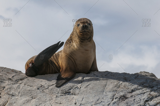Sea lions- Beagle channel- Argentina- South America
