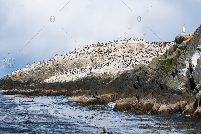 Cormorants on an island in the Beagle channel- Ushuaia- Tierra del Fuego- Argentina- South America