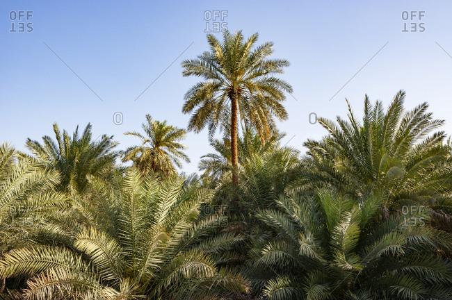 Palm oasis- Samail- Oman - Offset