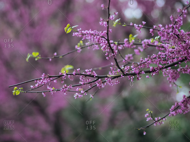 Close-up of blooming redbud tree in Uzbekistan