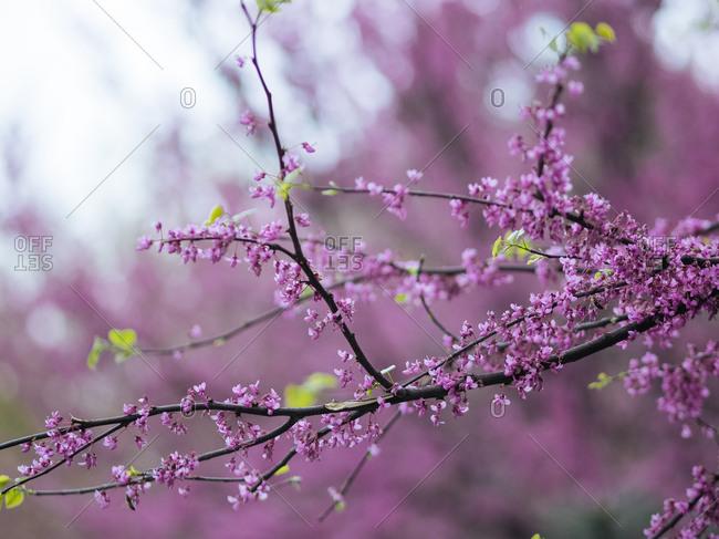 Blooming redbud tree in Uzbekistan