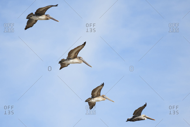 Group of four pelicans flying in the sky