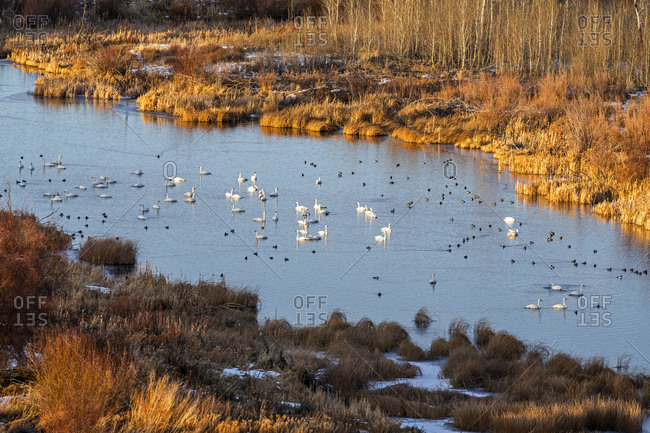 Swans in river in Picabo, Idaho