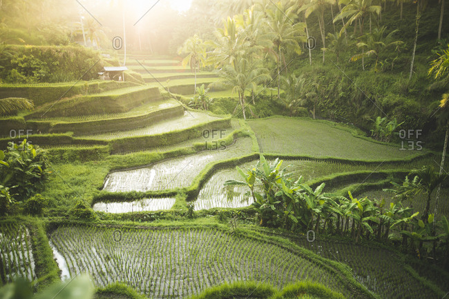 Terraced rice paddies in Bali, Indonesia