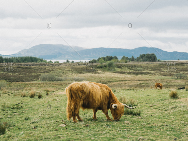 Highland cattle grazing in the Scottish Highlands