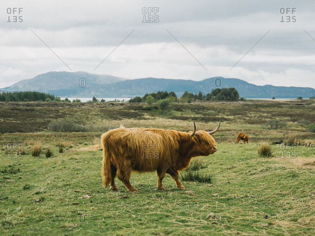 Highland cattle grazing in a meadow in the Scottish Highlands