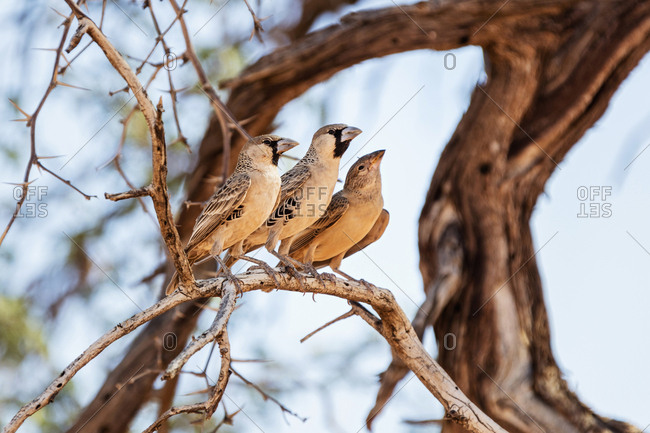 Sociable Weaver birds perching on tree branch, Sossusvlei, Namibia, Africa
