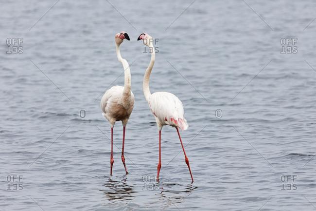 Flamingos on Walvis Bay, Namibia, Africa