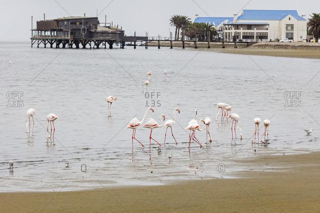 Flock of Flamingos on Walvis Bay, Namibia, Africa