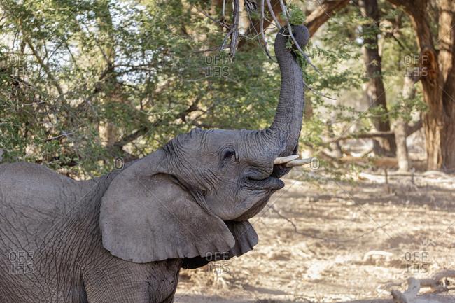 Elephant eating plant, Brandberg, Damaraland, Namibia