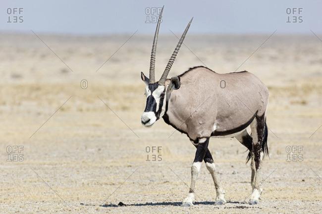 Oryx at Etosha National Park, Namibia, Africa