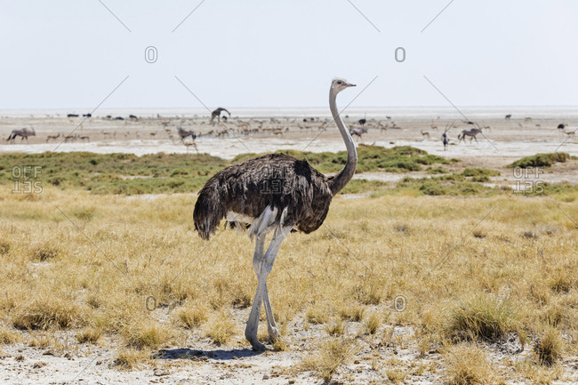 Ostrich at Etosha National Park, Namibia, Africa