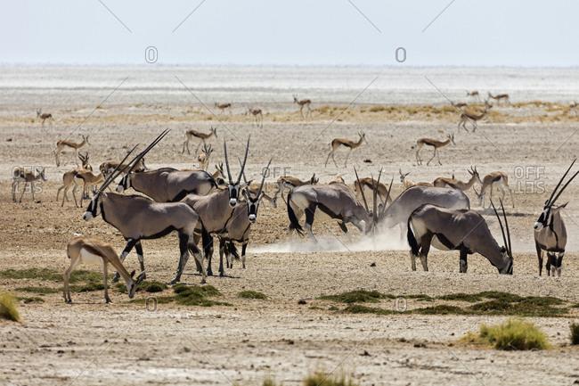 Oryx and Steenbok at Etosha National Park, Namibia, Africa