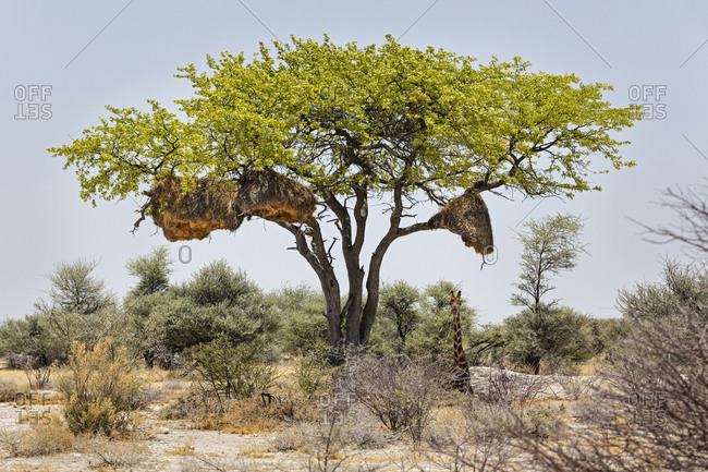Ostrich at Etosha National Park, Namibia, Africa