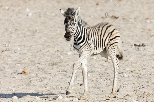 Zebra at Etosha National Park, Namibia, Africa