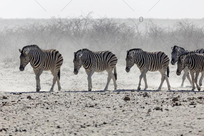 Herd of Zebra at Etosha National Park, Namibia, Africa