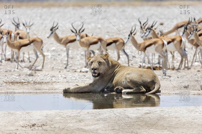 Lion and Steenboks at Etosha National Park, Namibia, Africa