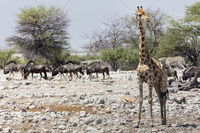 Group of animals at Etosha National Park, Namibia, Africa
