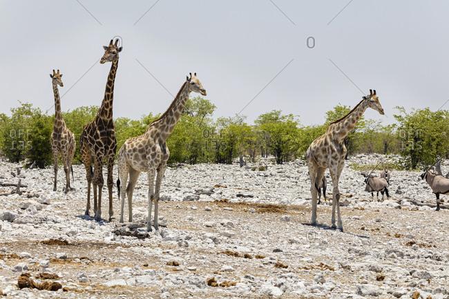 Giraffe and Oryx at Etosha National Park, Namibia, Africa