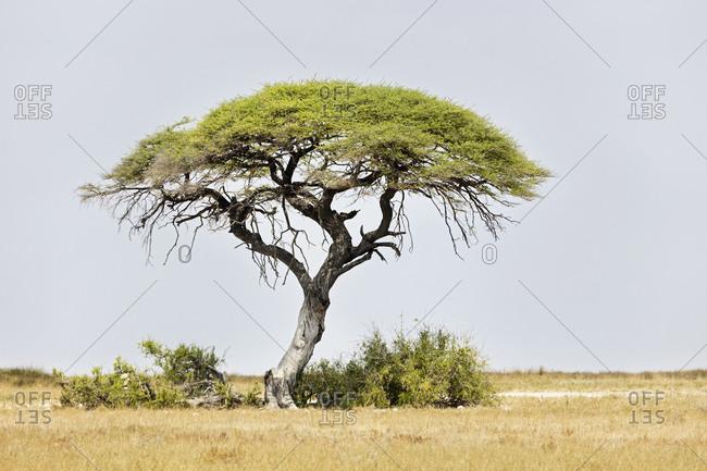 Mopane tree at Etosha National Park, Namibia, Africa