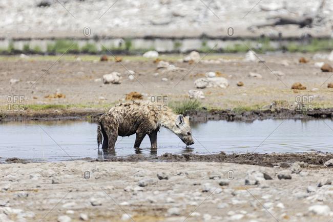 Hyena drinking water from waterhole at Etosha National Park, Namibia, Africa