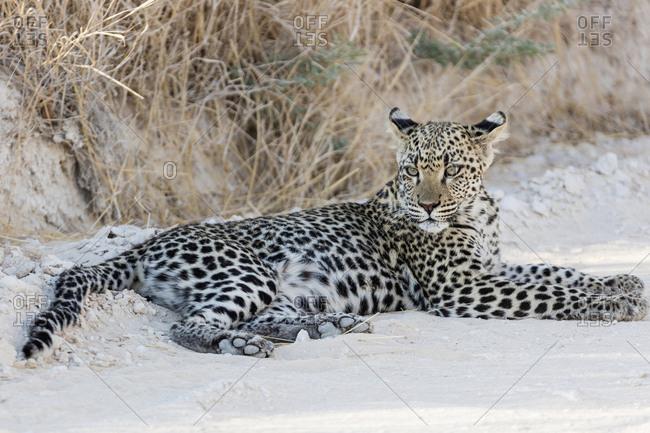Leopard relaxing at Etosha National Park, Namibia, Africa