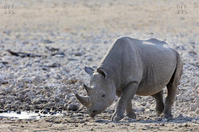 Rhino at Etosha National Park, Namibia, Africa