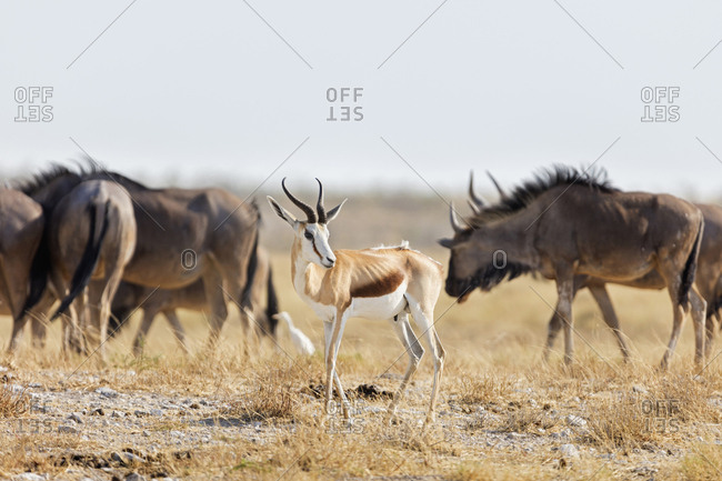 Steenbok and Gnu at Etosha National Park, Namibia, Africa