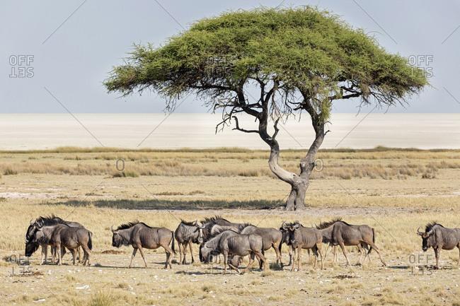 Large group of Gnus animals and mopane tree at Etosha National Park, Namibia, Africa