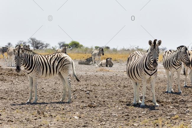 Zebras on sand at Etosha National Park, Namibia, Africa