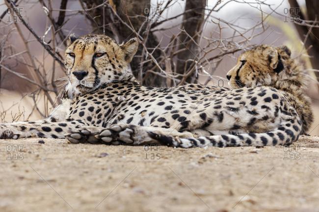 Cheetah relaxing at Okonjima Nature Reserve, Namibia, Africa