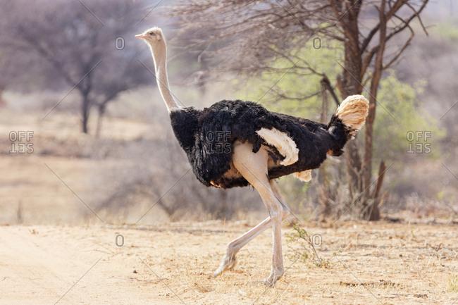 Ostrich in Okonjima Nature Reserve, Namibia, Africa