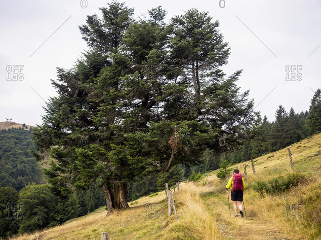 Rear View of a women seen hiking across pine trees on meadow at Auberge du Steinlebach, France