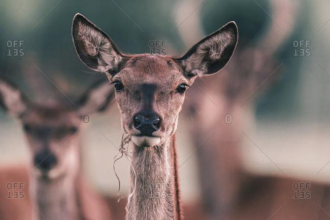 Female deer eating