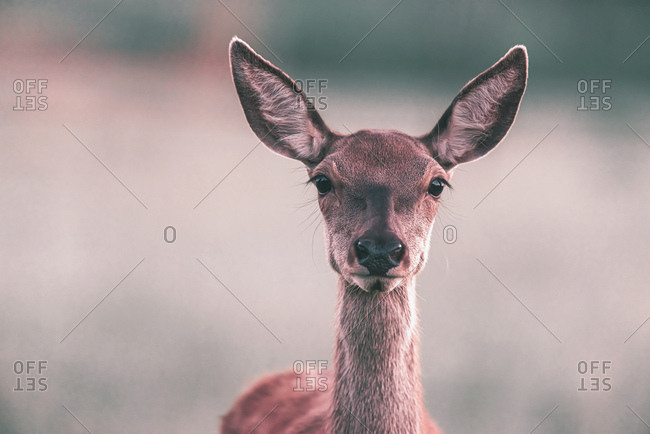 Portrait of an alert female deer