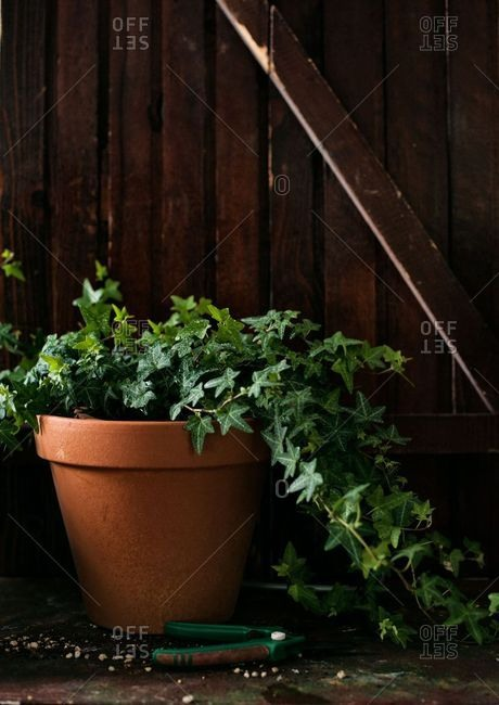 English ivy trailing from a terracotta pot