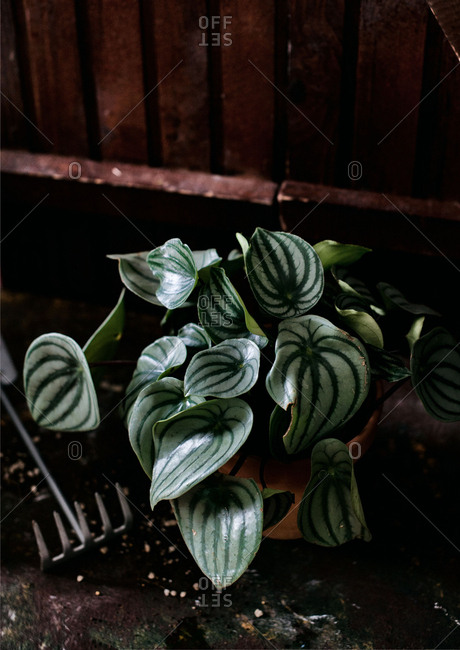 Overhead view of leaf detail on a Watermelon Peperomia pant