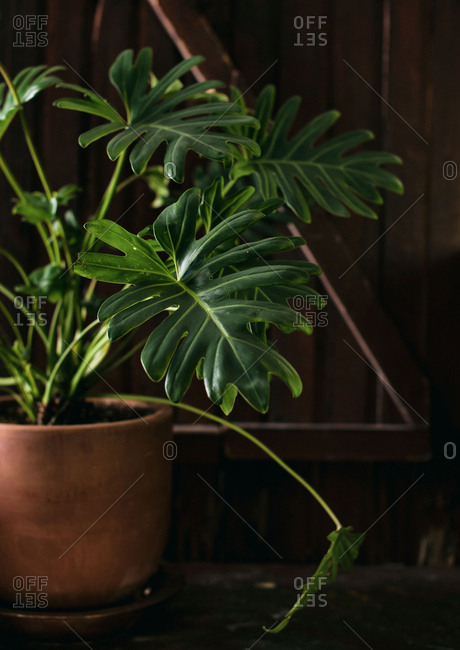 Close-up of Philodendron Xanadu leaf In terracotta planter