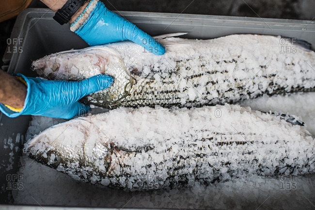 Two fresh fish on a fish market stall covered in ice and salt.