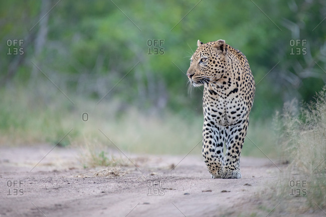 A male leopard, Panthera pardus, walks down a sand path, front paw raised, looking out of frame, green background.